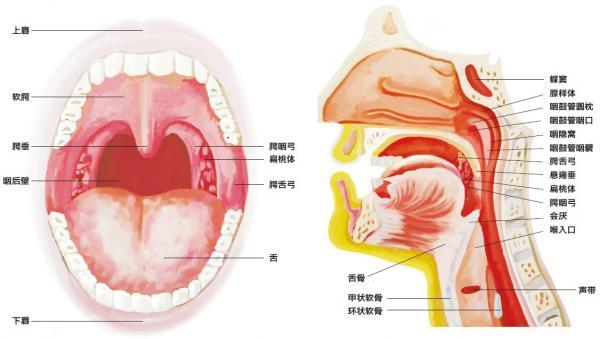 口腔结构图解剖图
